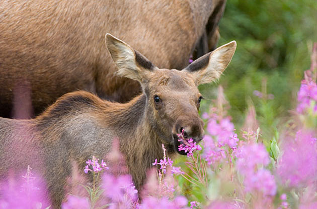 Baby Moose 9