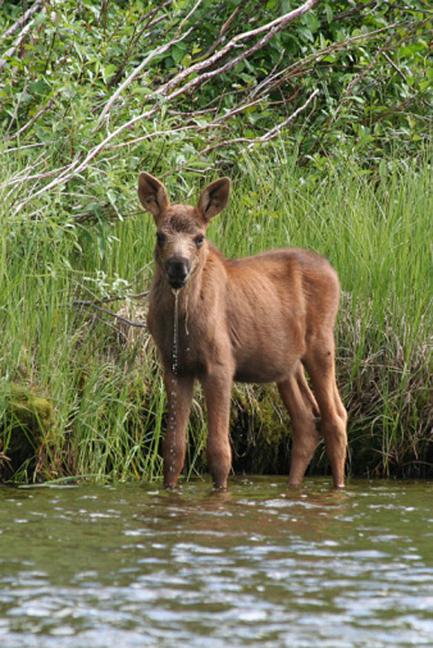 Baby Moose 6