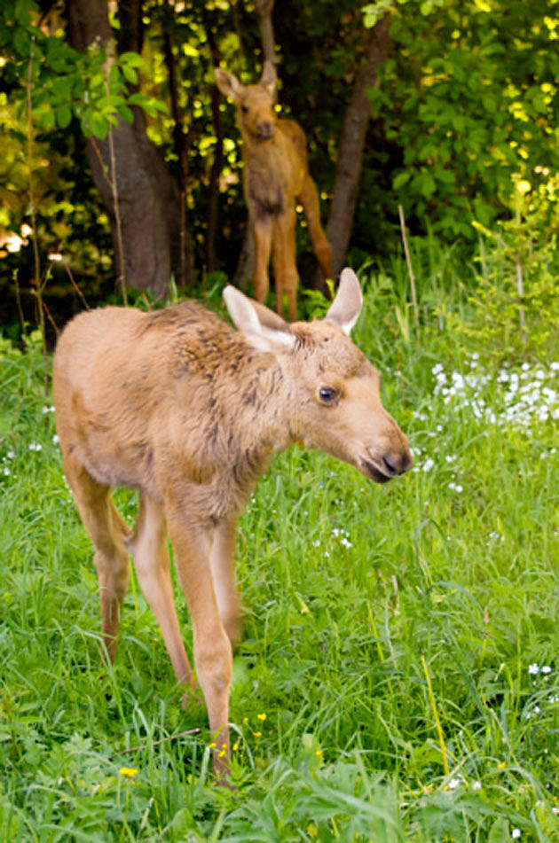 Baby Moose 5