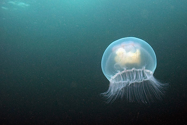 Jellyfish Gif Lead