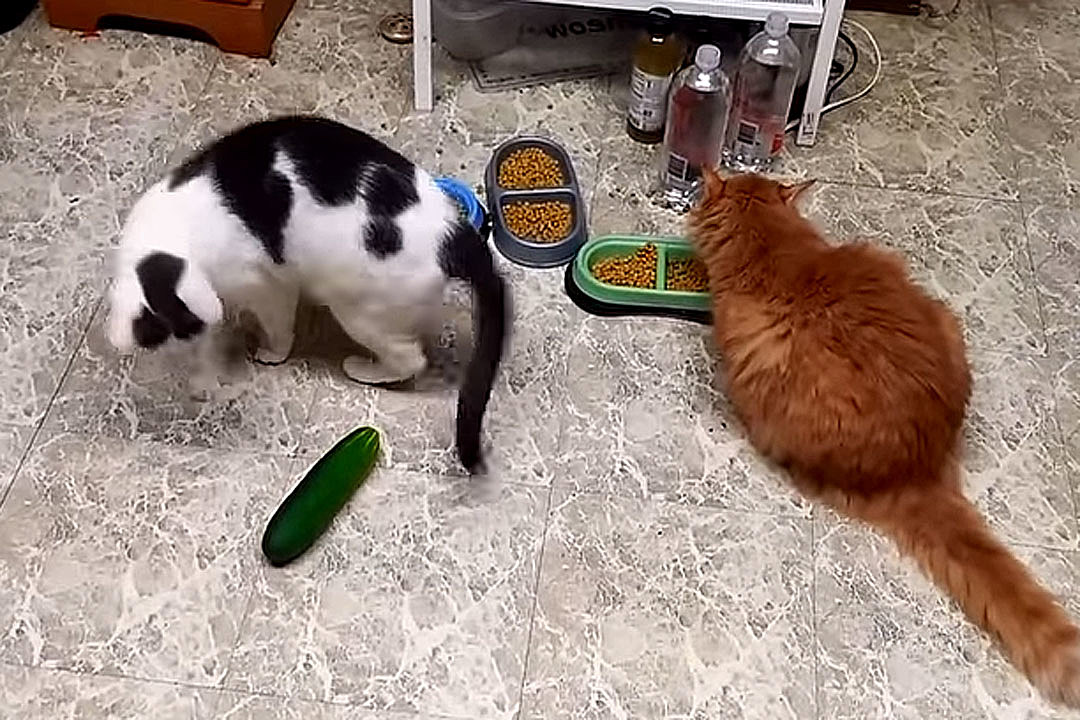 new cat keeps meowing